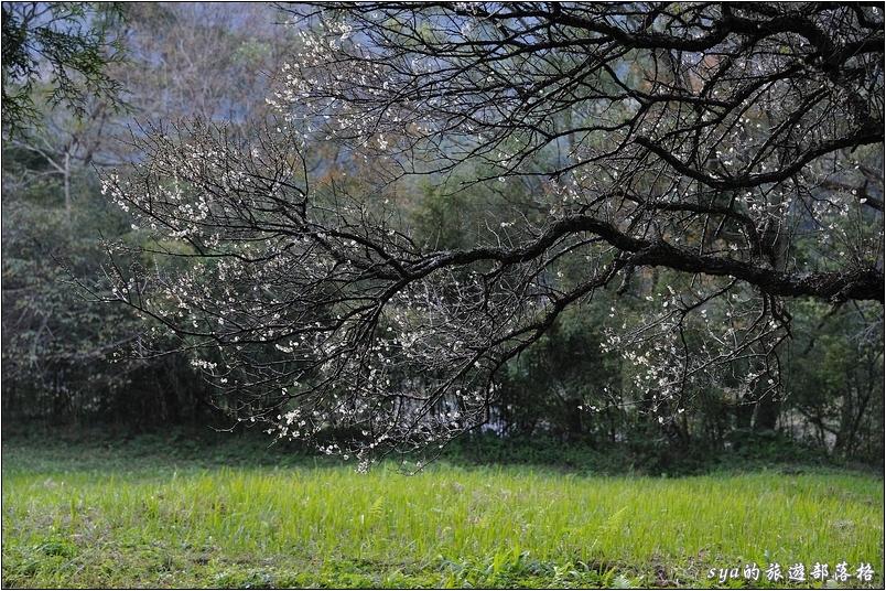 這裡有幾株的梅花樹,如果季節對了,應該也是很有看頭。